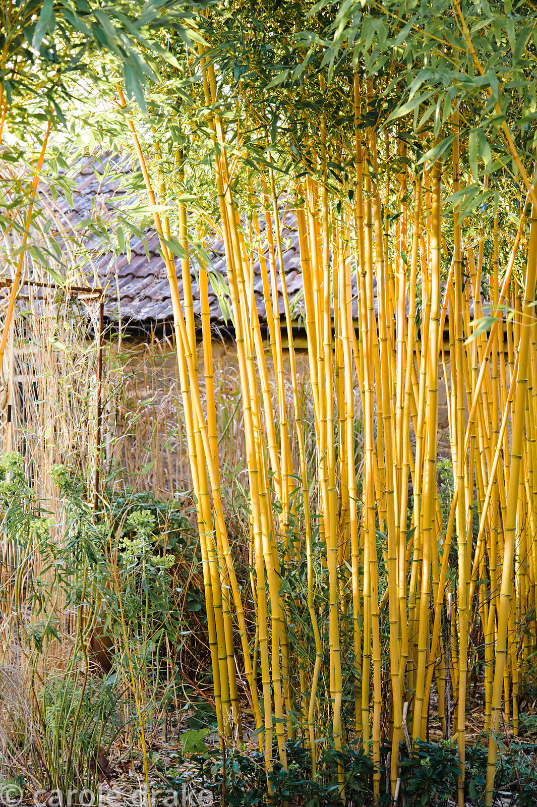 Stand of gold stemmed bamboo  Phyllostachys aureosulcata f. spectabilis  screening the greenhouse in the Sunken Garden. Barn ...