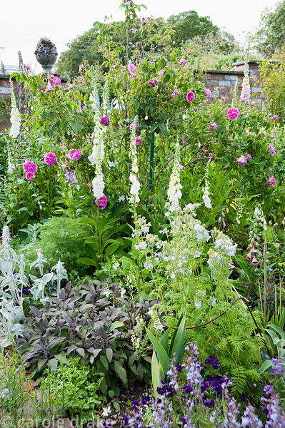 Border planted with roses, self seeded foxgloves, purple sage, silvery stachys, violas, nepeta and polemoniums. Mindrum, nr C...
