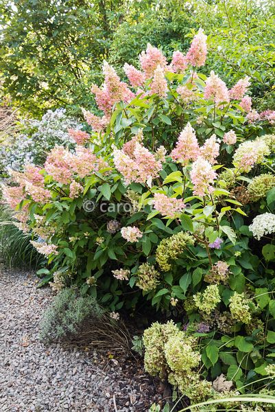 Hydrangea paniculata 'Pinky Winky' at Barn House, Gloucestershire in September