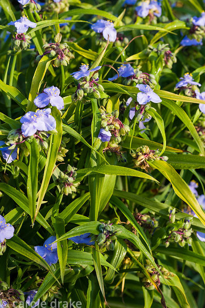 Tradescantia 'Ocean Blue'. Castle Hill, Barnstaple, Devon, UK
