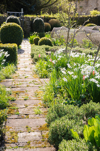 Narcissus 'Thalia' catching afternoon sun in the Potager garden in beds edged with box and Hebe pinguifolia 'Sutherlandii'. B...