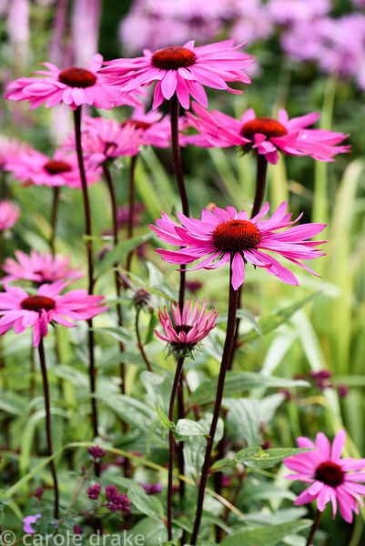 Echinacea 'Pink Glow'. Dove Cottage Nursery & Garden, Halifax, West Yorkshire