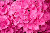 Bright pink hydranchea flowers - close-up - texture