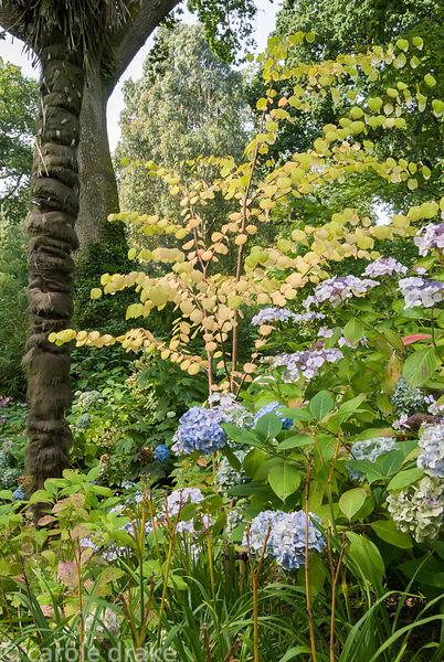 Young katsura tree, Cercidiphyllum japonicum, with hydrangeas and Chusan palm, Trachycarpus fortunei. Abbotsbury Subtropical ...