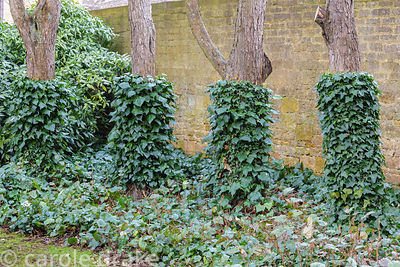 Ivy forming a cover on the lower part of trees at Bourton House in the Cotswolds in January