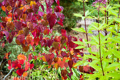 Cercis canadensis 'Forest Pansy'. Rhodds Farm, Kington, Herefordshire, UK