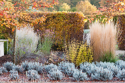 Planting in strict lines in designer Brita von Schoenaich's walled garden at Marks Hall in autumn, including lavender, Verben...