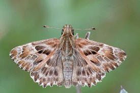 Detailed dorsal close up of a Mallow Skipper,  Carcharodus alceae on a green background