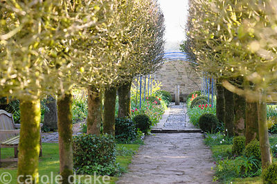 Lime avenue leading towards the replanted Laburnum Walk at Barnsley House, Cirencester, Glos, UK