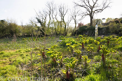 Stainless steel obelisk in the bog garden surrounded by the new leaves of Gunnera manicata.