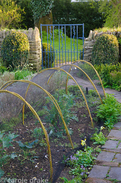 Pliable yellow willow stems are used as ribs to support protective netting in the potager at Barnsley House, Cirencester, Glo...