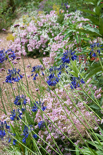 Pink Saponaria x lempergii 'Max Frei' with silvery Eryngium giganteum 'Silver Ghost', Verbena bonariensis and agapanthus.  Ho...