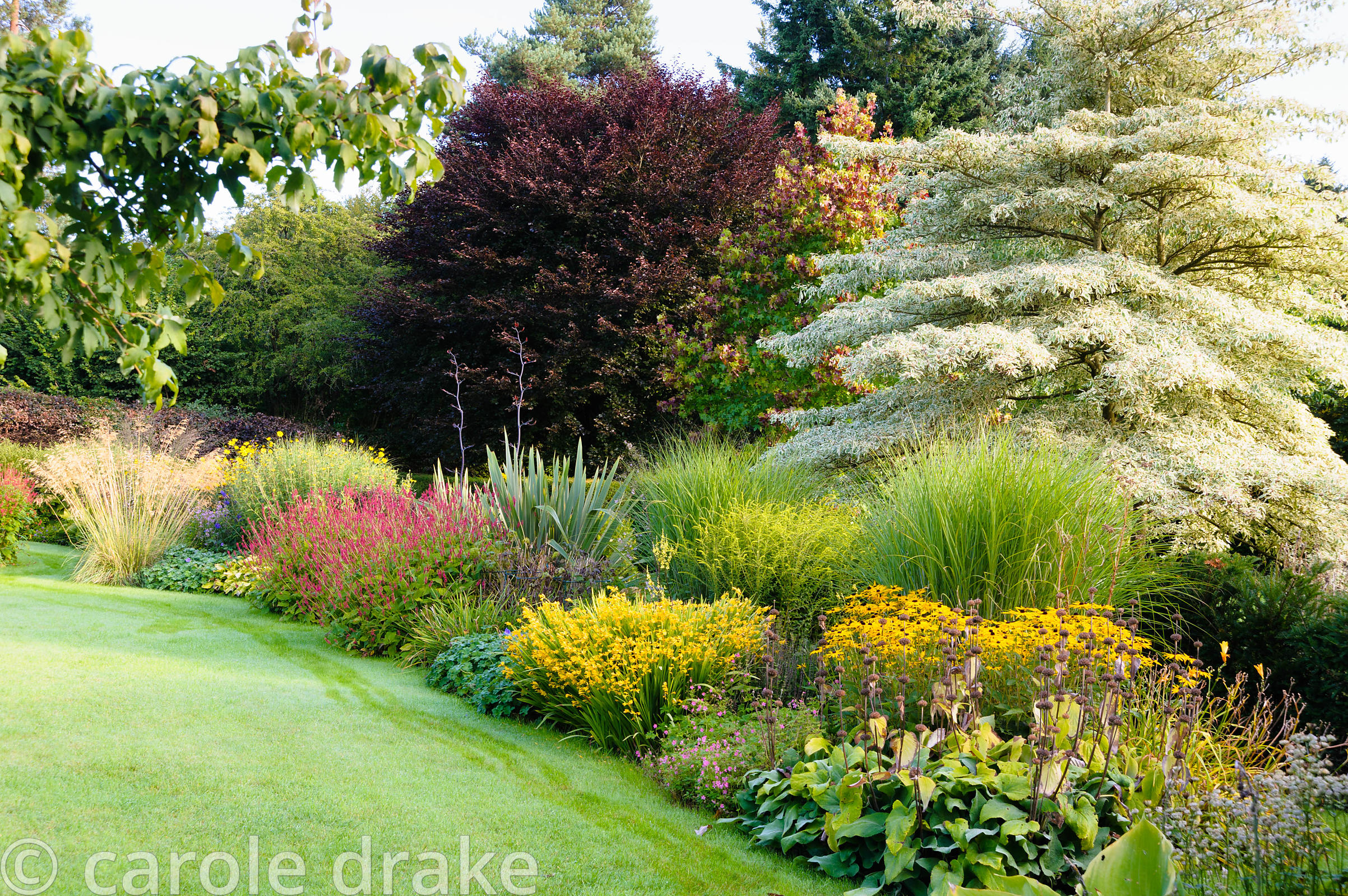 Border with wedding cake tree, Cornus controversa 'Variegata', above grasses and late season perennials including Rudbeckia f...