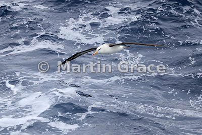Black-Browed Albatross (Thalassarche (melanophrys) melanophrys) in flight over the waves, Drake Passage, Southern Ocean