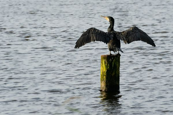 Great cormorant stretching it's wings