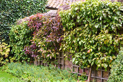 Trained pear trees against a wall of the Lower Courtyard at Broadwoodside, Gifford, East Lothian in September