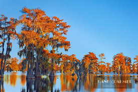 Bald cypress forest in autumn colours (lat. taxodium distichum) - North America, USA, Louisiana, St. Martin, Lake Martin - di...