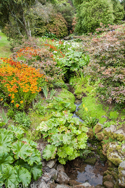 Stream exits the Rill garden into a naturalistic setting surrounded by water loving plants including Darmera peltata, candela...
