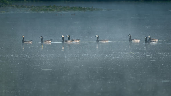 Group of  barnacle geese on the lake in morning light.