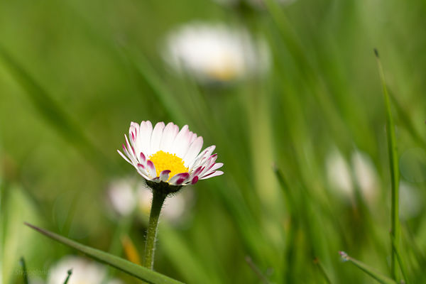 A daisy in the lawn - close up