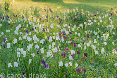 Naturalized fritillaries illuminated by early morning sun. Milton Lodge, Wells, Somerset, UK