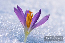 Crocus With snow (lat. crocus) - Europe, Germany, Bavaria, Upper Bavaria, Munich, Taufkirchen - scan