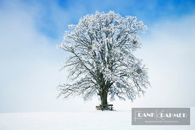 Lime tree in snow (lat. tilia) - Europe, Germany, Bavaria, Upper Bavaria, Miesbach, Holzkirchen, Oberwarngau - digital - Gett...