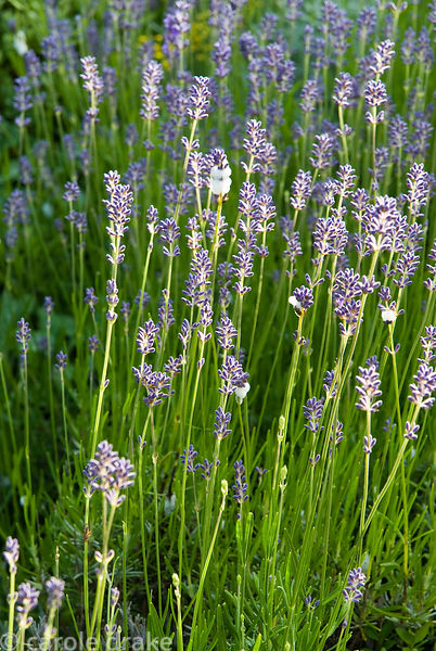 Lavender flowers with foamy cuckoo spit. Ednovean Farm, Marazion, Cornwall, UK