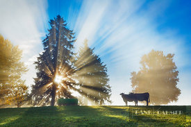 Sunrays in fog and cows - Europe, Germany, Bavaria, Swabia, Ostallgäu, Illasbergsee (Allgäu, Forggensee) - digital