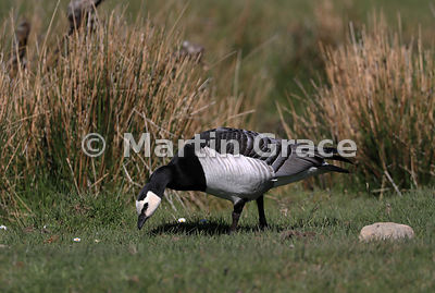Feral Barnacle Goose (Branta leucopsis) grazing short turf, Highland Wildlife Park, Kincraig, Inverness-shire, Scottish Highl...
