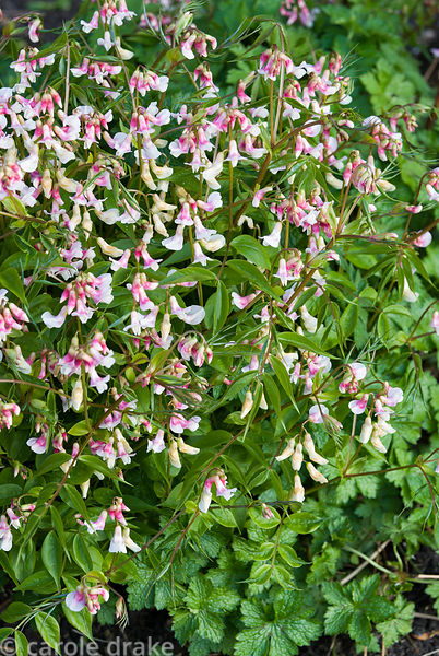 Pink and white form of Lathyrus vernus. Melplash Court, Bridport, Dorset, UK