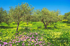 Olive grove with osteospermums and Bermuda buttercups - Europe, Greece, Crete, Lasithi, Zakros - digital
