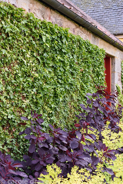 Border of Cotinus coggygria 'Royal Purple' and limey green Euphorbia wallichii against a wall with tightly cllipped ivy at Br...