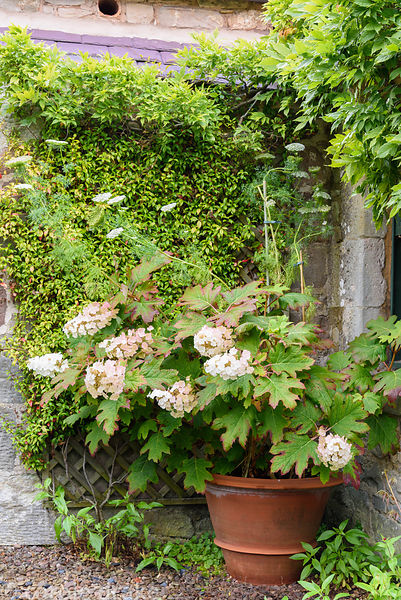 Hydrangea quercifolia in a large terracotta pot in front of Trachelospermum jasminoides in the Upper Courtyard at Broadwoodsi...