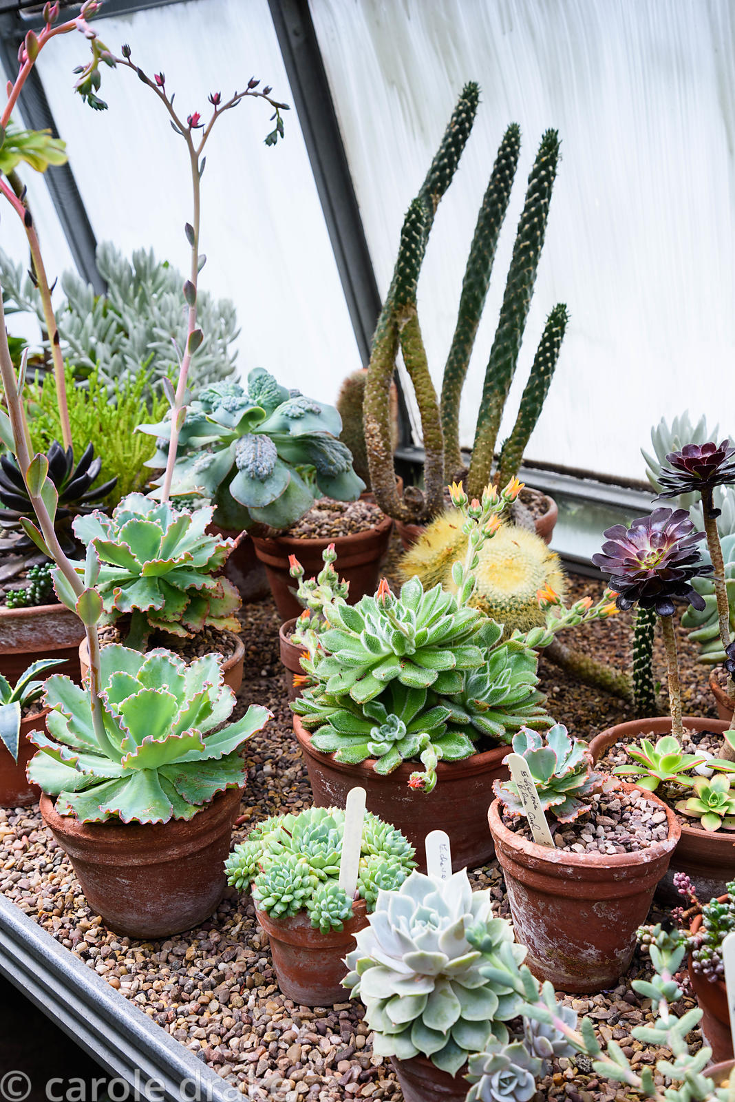 Greenhouse staging covered with pots of cacti and succulents at York Gate Garden, Adel in July