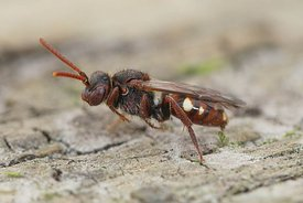 The bear-clawed Nomada bee is a rather small cleptoparasite species that hosts nests of the small sandpit mining bee, Andrena...