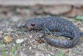 Full body shot of a juvenile alpine newt , Ichthyosaura alpestris alpestris