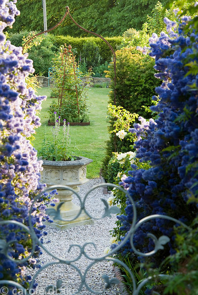 Ceanothus arboreus 'Trewithen Blue' surrounds steps down from the walled kitchen garden, past an urn in  the blue and yellow ...
