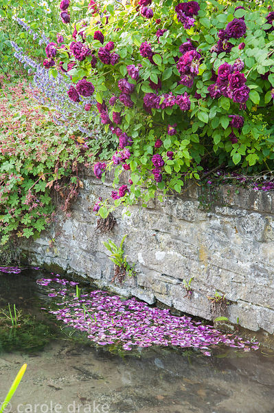 Deep purply red rose petals dropped into the River Bride by Rosa 'Tuscany Superb'? underplanted wtih hardy geraniums. Littleb...