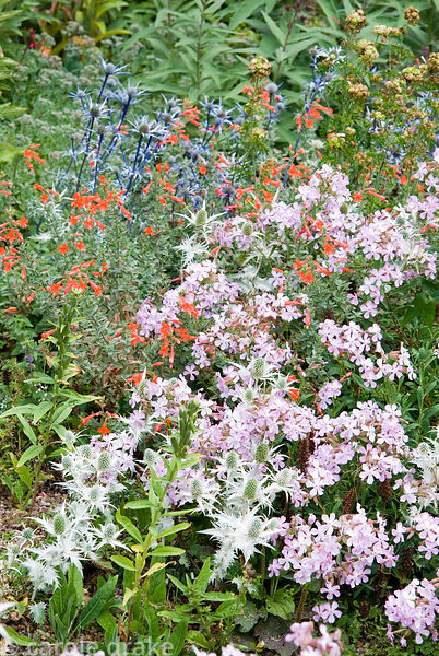 Pink Saponaria x lempergii 'Max Frei' with silvery Eryngium giganteum 'Silver Ghost' and scarlet Zauschneria californica. Hol...