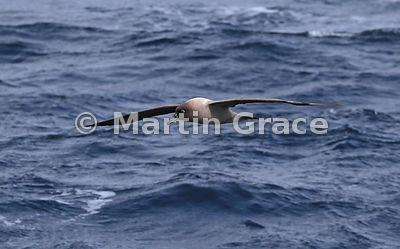 Light-Mantled Sooty Albatross (Phoebetria palpebrata) in flight, Drake Passage, Southern Ocean