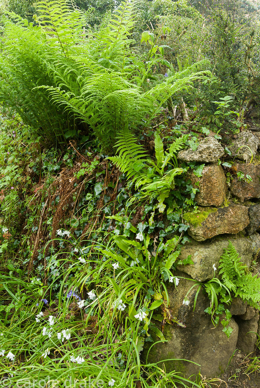 Stone wall colonised by ferns, navelwort, ivy and alliums. Trewidden, Buryas Bridge, Penzance, Cornwall, UK