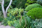 Cloud pruned Phillyrea angustifolia with shrubs including loquat, Eriobotrya japonica, euphorbias and eucalyptus. Private gar...