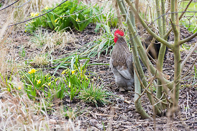 Pekin bantam at Ellicar Gardens, Notts