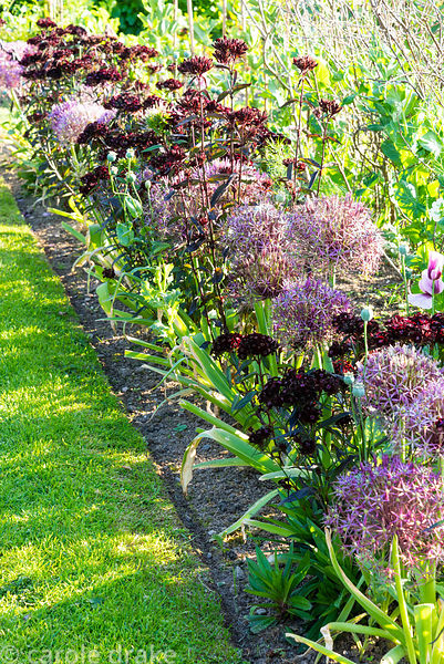 Kitchen garden border with Allium cristophii and Dianthus barbatus (Nigrescens Group) 'Sooty' at Sea View, Cornwall in June