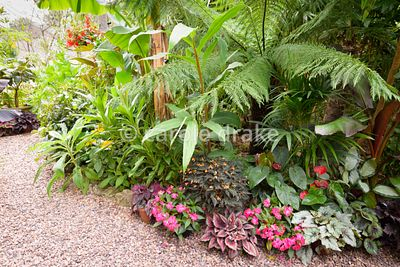 Begonias, impatiens and anthuriums at the feet of tree ferns, cannas and Tetrapanax papyrifer 'Rex' at Oak Barn, Newark, Nott...