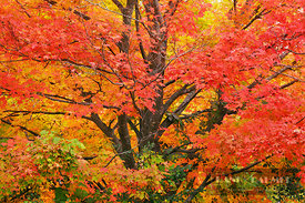 Sugar maple in autumn colours (lat. acer saccharum) - North America, Canada, Quebec, Outaouais, Gatineau Park, Parkway Sector...