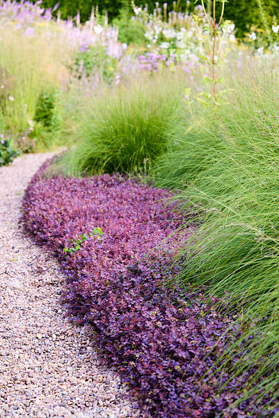 Sporobulus heterolepsis amongst ground cover of purple Acaena inermis 'Purpurea' at Dove Cottage Nursery & Garden, Halifax, W...