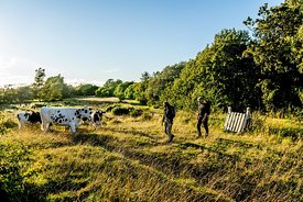 Hikers and cows on Mors, Denmark 6