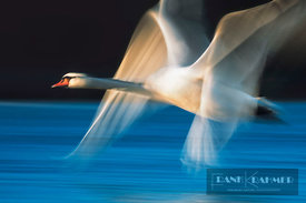 Mute swan long exposure (lat. cygnus olor) - Europe, Germany, Bavaria, Upper Bavaria, Munich, Flaucher, Thalkirchen - scan - ...